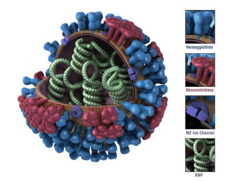 3D Graphical Representation of an Influenza Virion's Ultrastructure