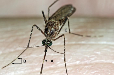 Close-up View of a Culex Tarsalis Mosquito