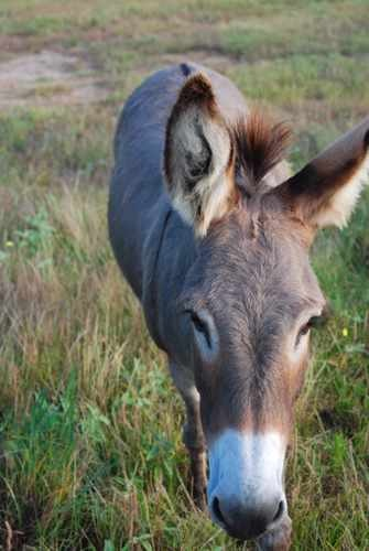 Stock  Photo of a Mule