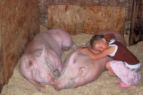 Stock Photo of Pigs and a LIttle Girl