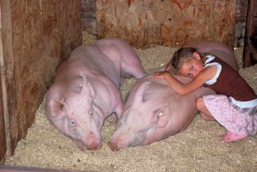 Little Girl and Her Hogs