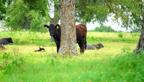 Black Angus Cow Behind a Tree