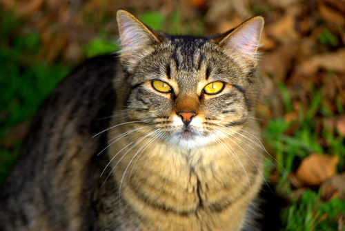 Beautiful  Brown Tabby Cat Photo