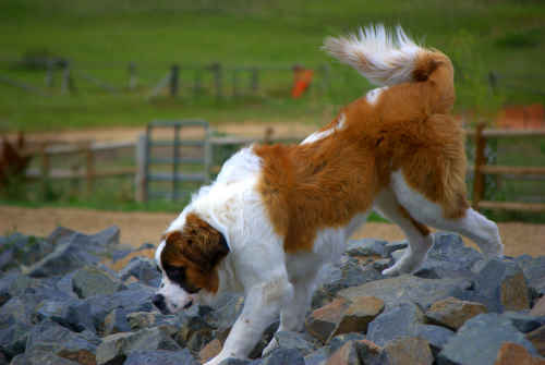Saint Bernard Dog Walking on Rocks