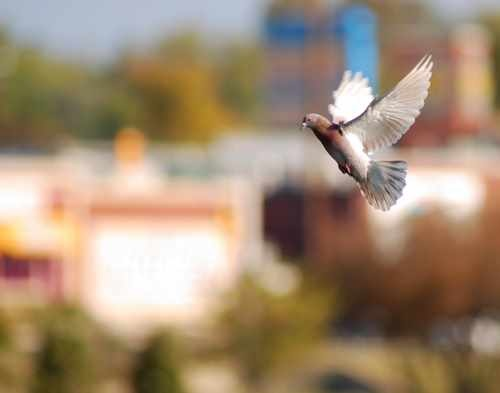 Pigeon in Flight Photo