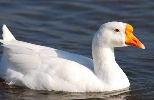 White Goose in Deep Blue Water