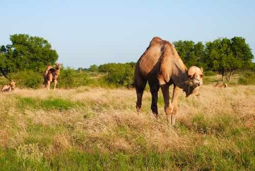 Photo of a Camel in Texas