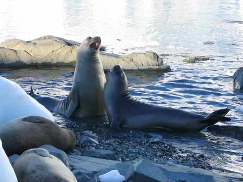 Two Elephant Seals in Antarctica (South Pole)
