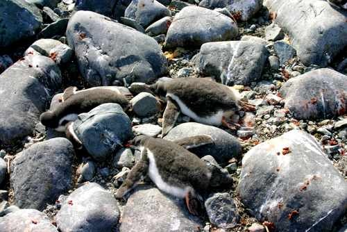 Gentoo Penguin Chicks Sleeping on Rocks