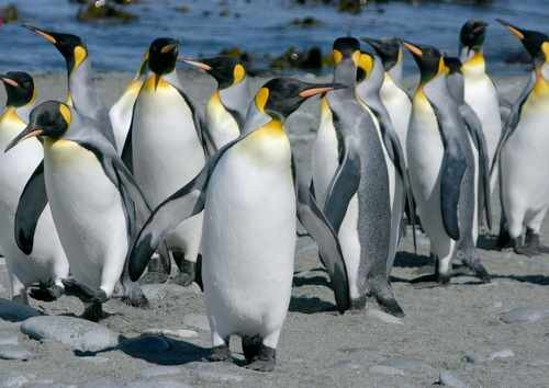 King Penguins on Macquarie Island