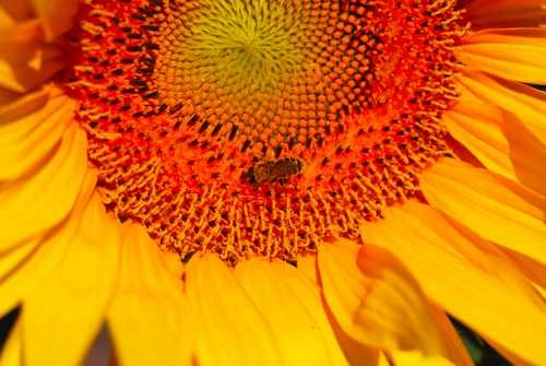 Close Up of a Bee on a Sunflower