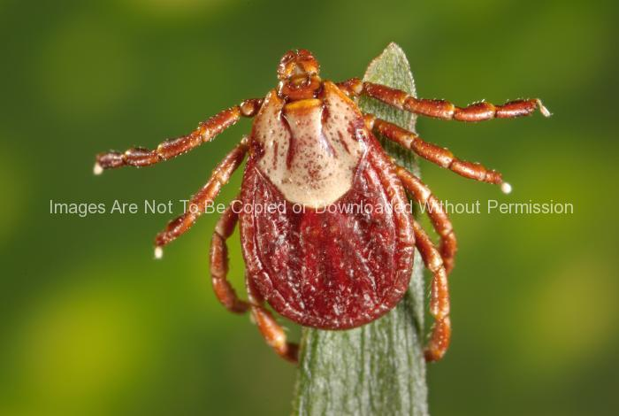 Female Rocky Mountain Wood Tick, (Dermacentor andersoni)
