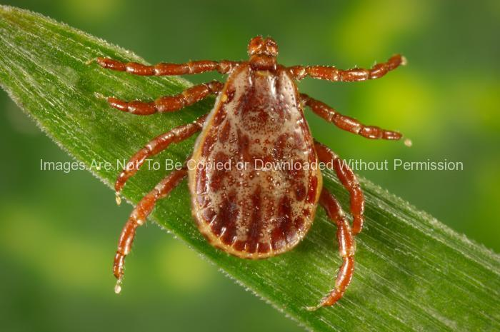 Male Rocky Mountain Wood Tick (Dermacentor andersoni)