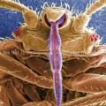 Skin Piercing Mouthparts of a Bedbug, (Cimex lectularius)