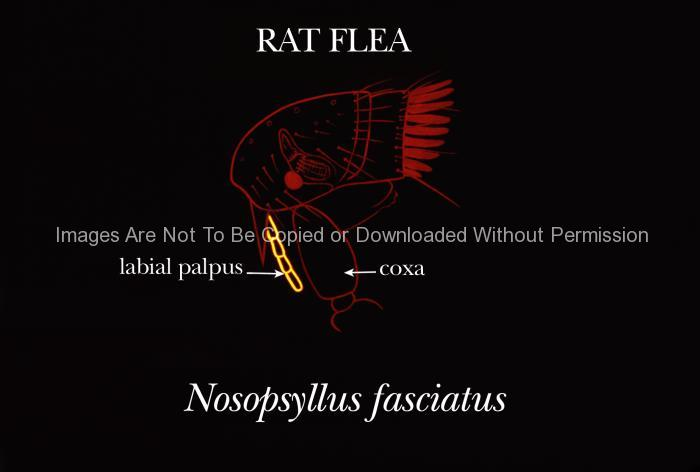 Rat Flea Illustration