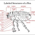 Identifying Morphologic Structures of an Adult Female Flea