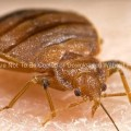 Frontal View of an Adult Bedbug (Cimex lectularius)
