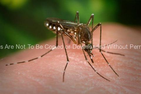 Female Aedes Aegypti Mosquito on a Hand 89_24_lores