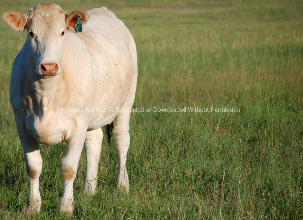 Charlois Cow (White Cow)