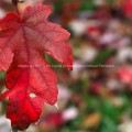 Bright Red Leaf in Autumn