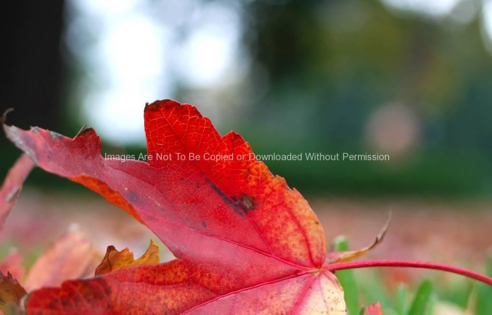 Red Leaf Stock Photo (close up)
