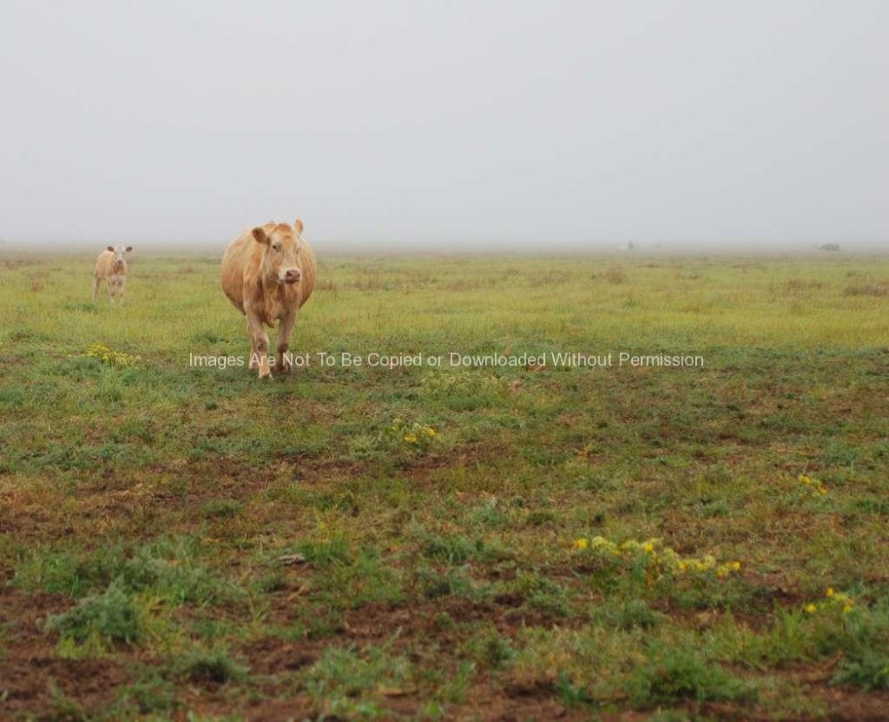 Cow and calf grazing on foggy morning