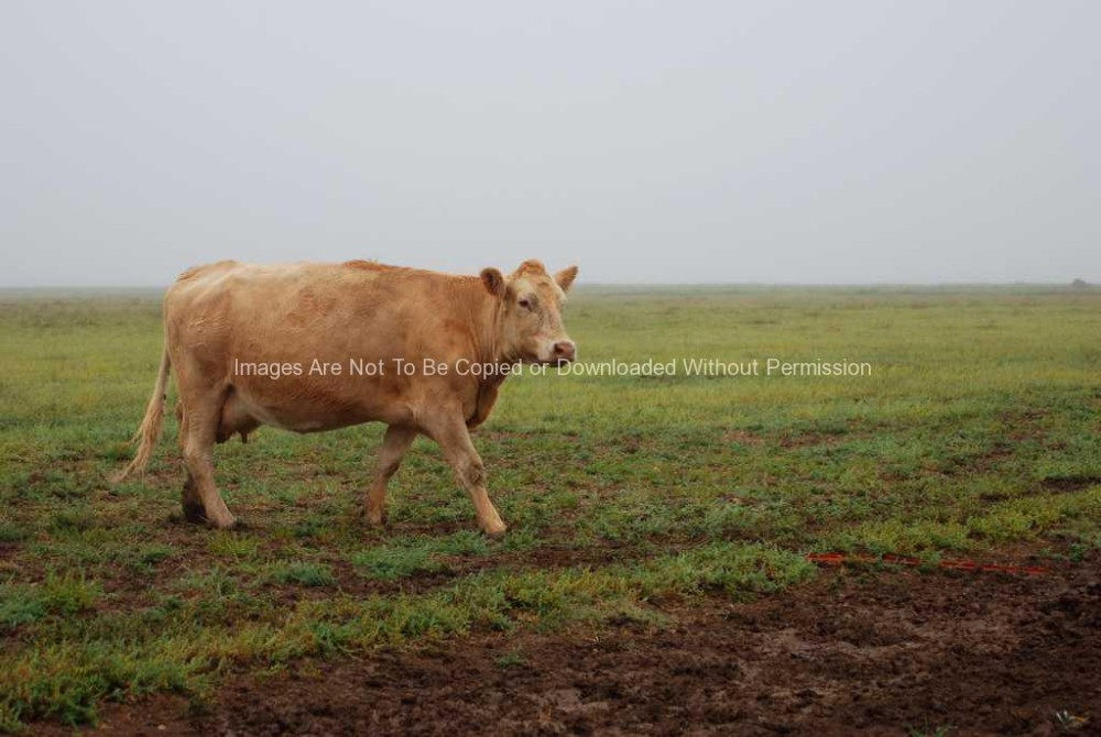 Cow in muddy field