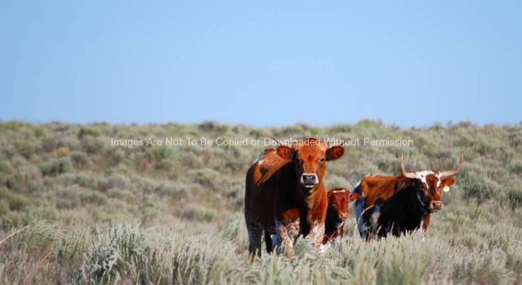 Shorthorn Cattle in Field