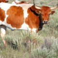 Shorthorn Cow in Dry Pasture