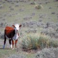 Calf in dry field