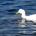 White Duck in Clear Blue Water