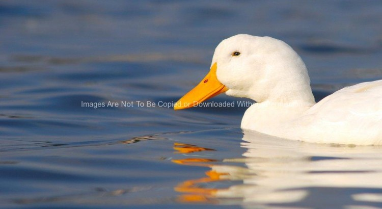 Half of a White Duck in Blue Water