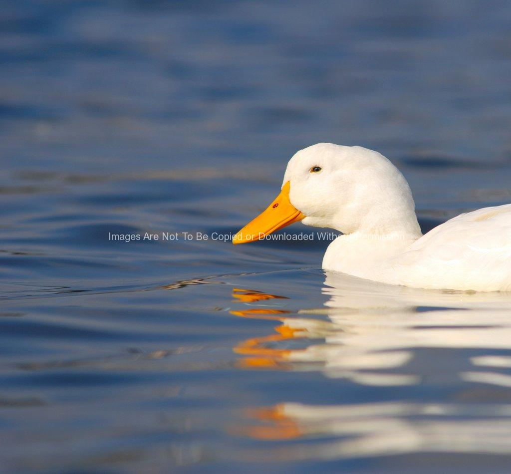 Half of a White Duck in Blue Water - B. Thomas Photo Research