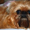 Brussels Griffon Dog Close Up
