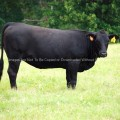 Black Angus cow in a field