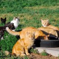 Eight barn cats at their food bowl