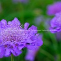 Pincushion FLower Butterfly Blue Scabiosa Columbaria