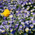 One Yellow Flower in Field of Purple Flowers