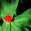 Costus curvibracteatus Family COSTACEAE Native of Costa RIca to Columbia